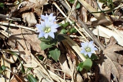 比較写真 昨年のフデリンドウの花 syou