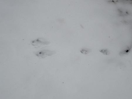 ウサギの足跡VC180323