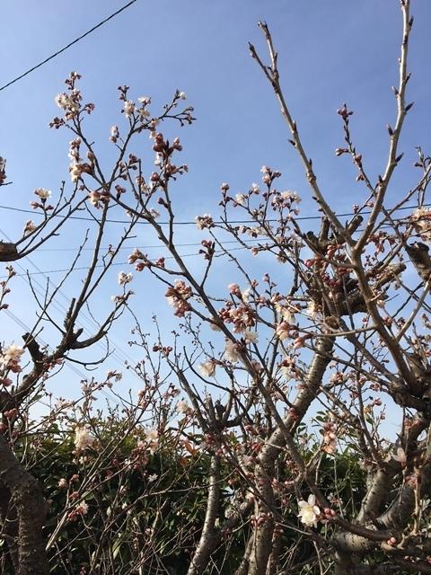 2018サクランボの花