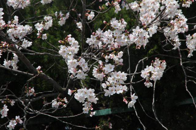 自衛隊の桜