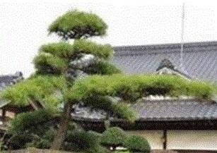 門冠りの松 (2)