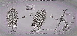 幼木からの仕立て (2)