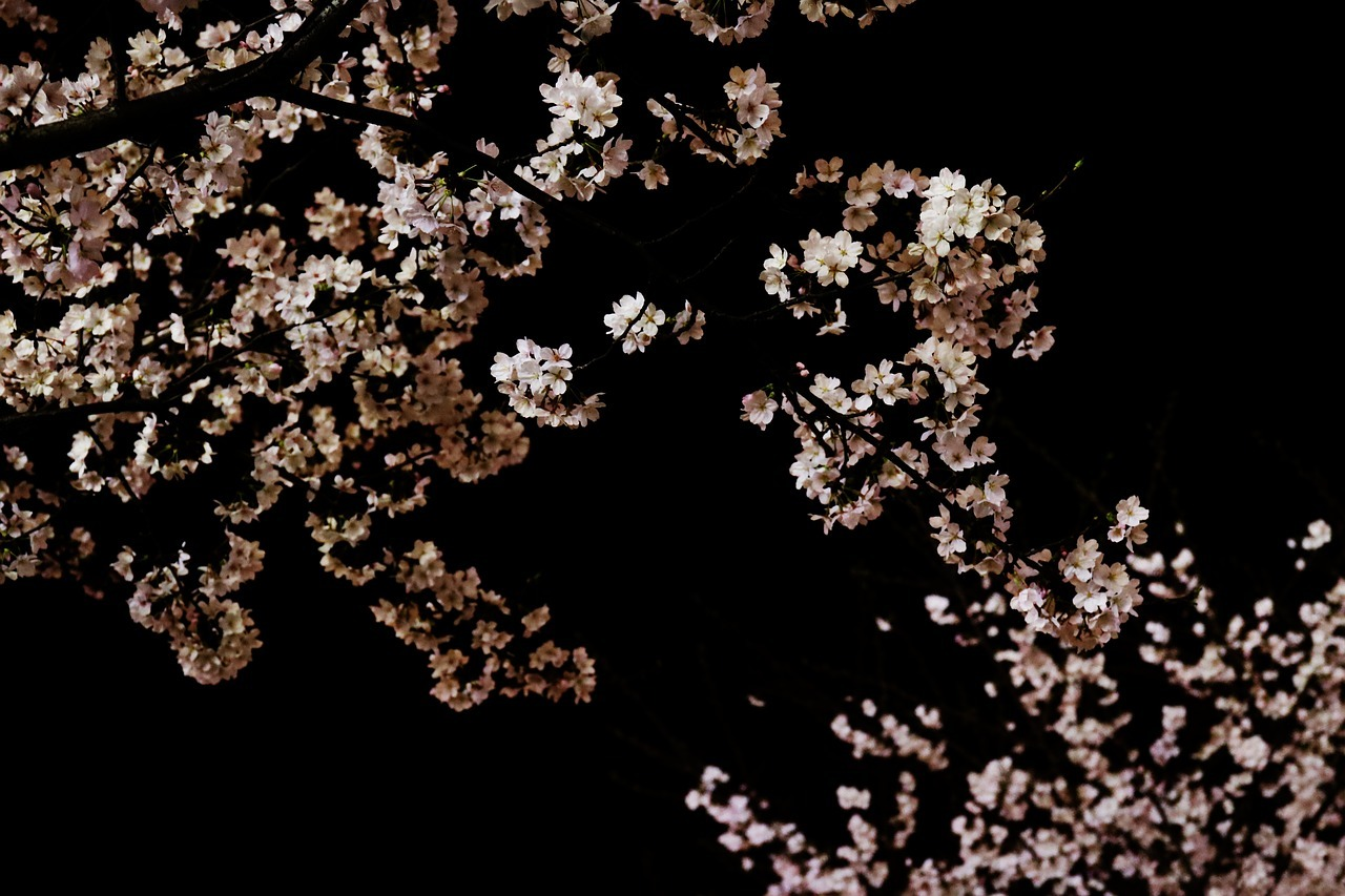 cherry-blossom-3266383_1280.jpg