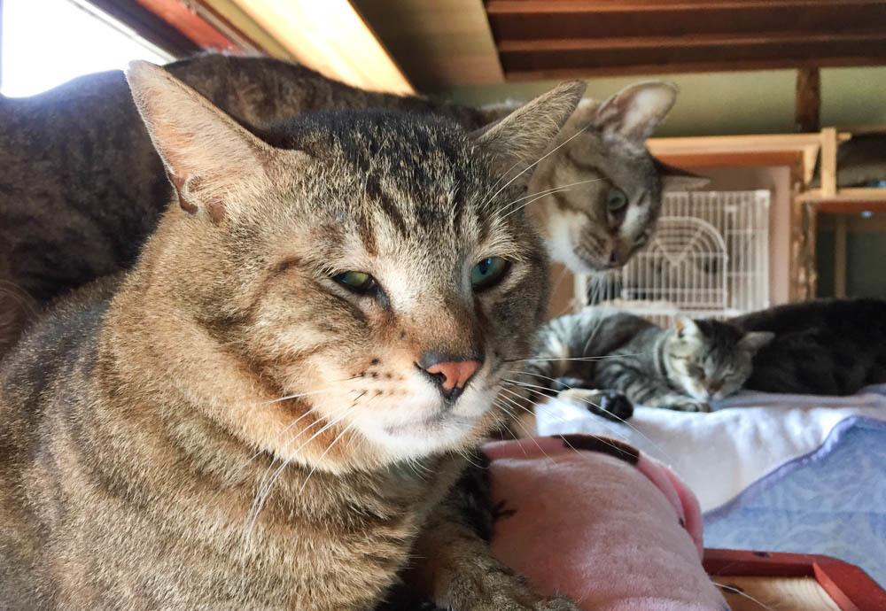 12キジトラ猫-1