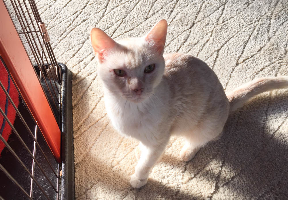 15クリーム色猫-1