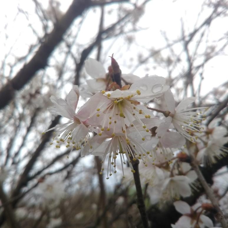 Cherry blossom 20180305