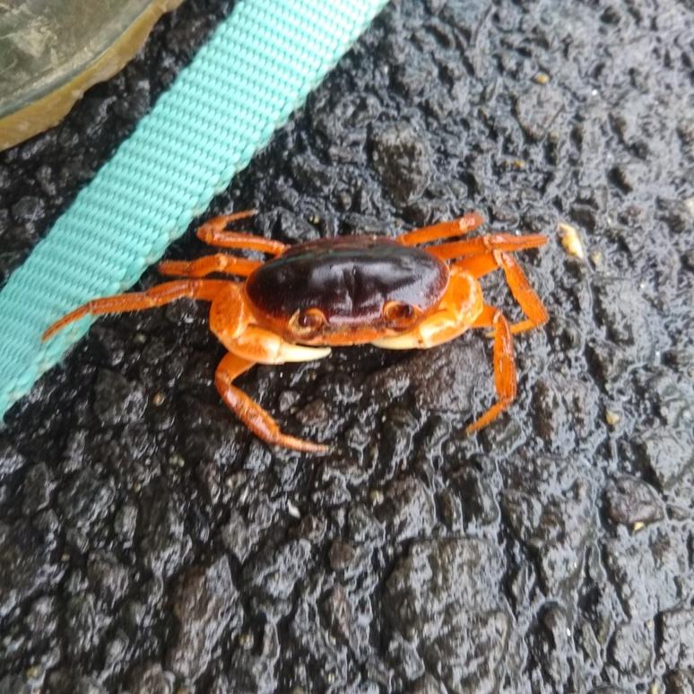 Crab 20180305
