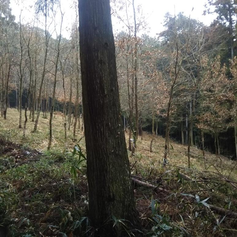 Kunugi oak 20180305
