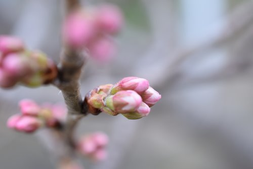 180307 桜蕾