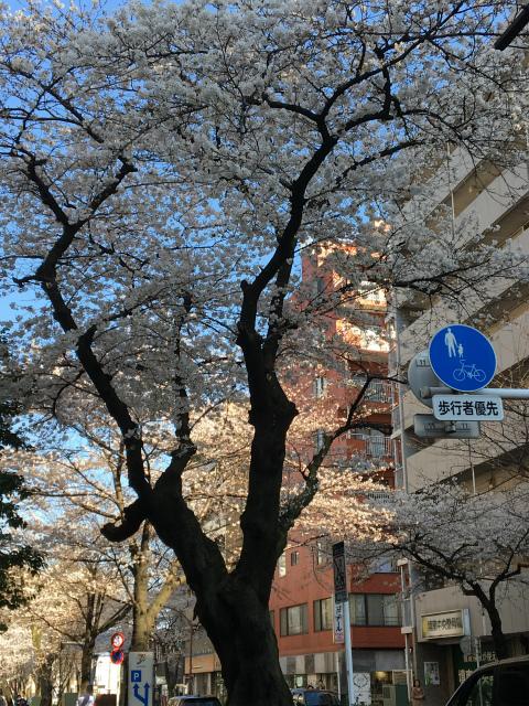 武蔵境駅近くの桜2018春