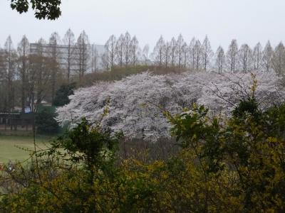 桜満開のキャンパス2