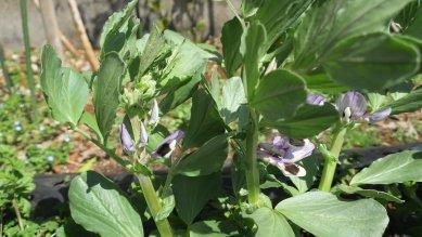 空豆の花が咲いている