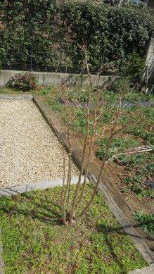 ヒメシャラの芽はまだ硬い