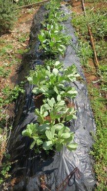 野菜畑の、空豆の畝