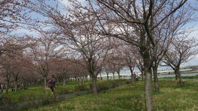 大島小松川公園のソメイヨシノ