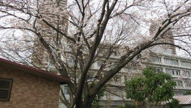 釜屋堀公園のソメイヨシノ
