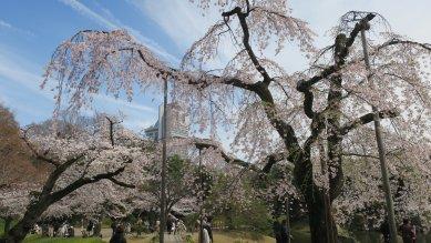 後楽園・枝垂れ桜