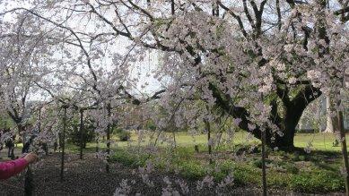 六義園・枝垂れ桜