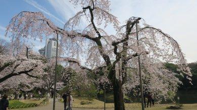 後楽園枝垂れ桜・角度を少し変えて