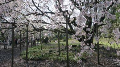 六義園枝垂れ桜・角度を変えて