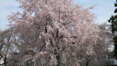 小石川植物園の枝垂桜