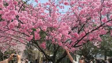 △人気の濃い色の桜・陽光か
