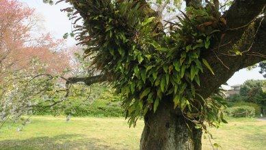 桜に着生するヒトツバ