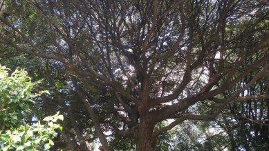 スダジイの古木