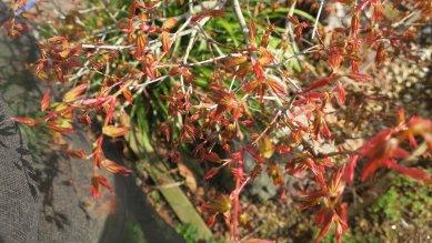 山モミジとしては赤芽