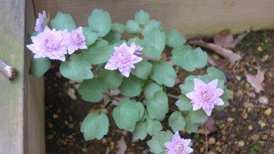 八重梅花唐草の花