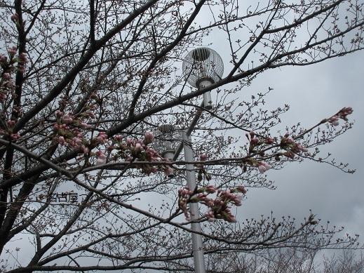 3・22緑地桜2