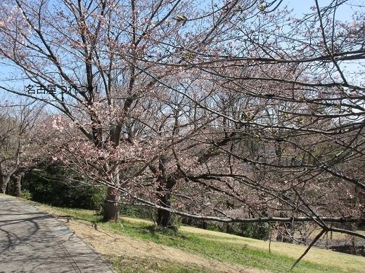3・23桜