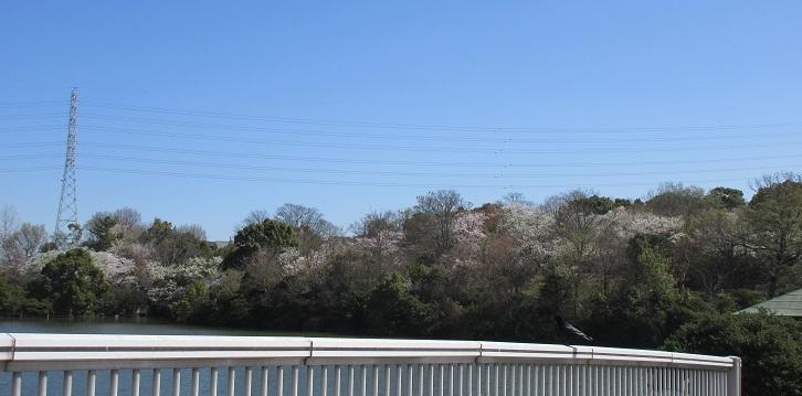 琵琶が池のほとりの桜