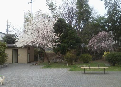 桜咲いている