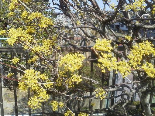 サンシュユ花盛り