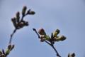 桜のつぼみ30
