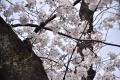 桜満開30