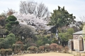 正面桜30