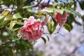 椿桜バック30