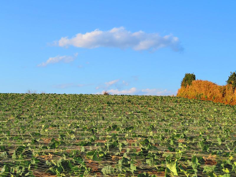 180218,三浦の大根とキャベツ畑2