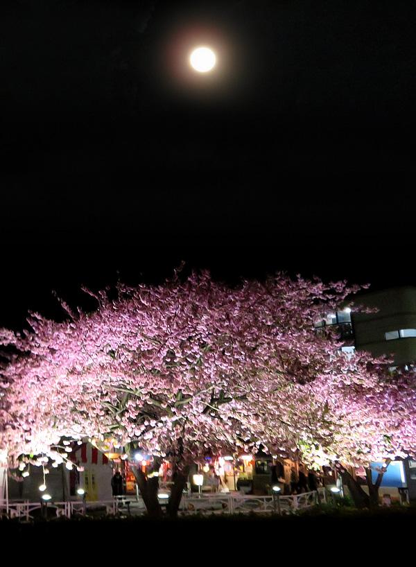 180303,三浦河津桜ライトアップ5