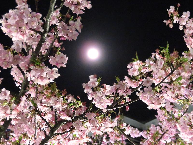 180303,三浦河津桜ライトアップ3