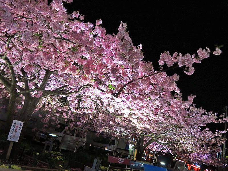 180303,三浦河津桜ライトアップ2