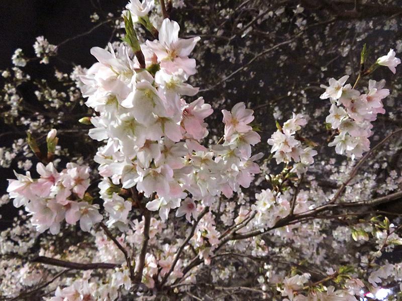 180322,JR久里浜駅前の大島桜2