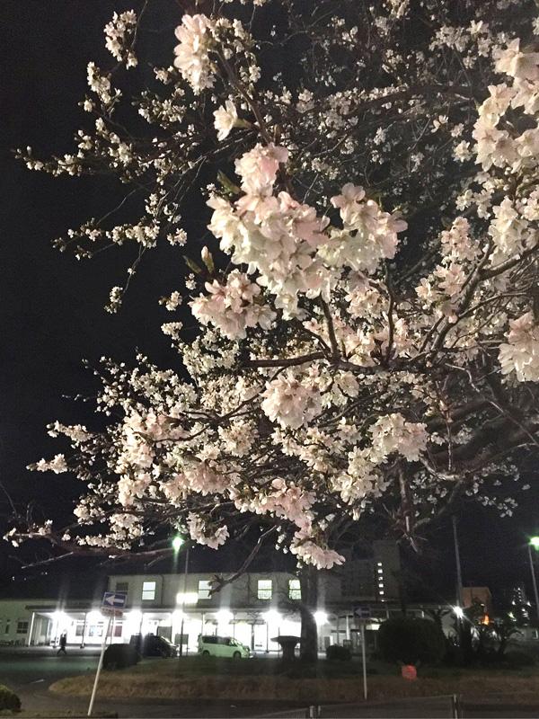 180322,JR久里浜駅前の大島桜1