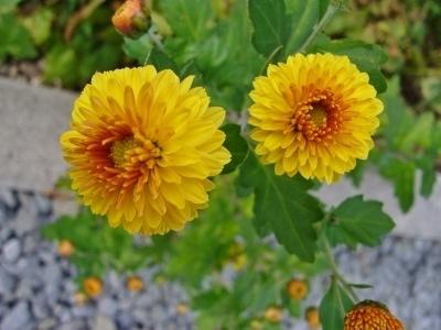 小菊ポンポン咲き・黄