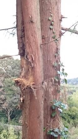 桜と杉の痕