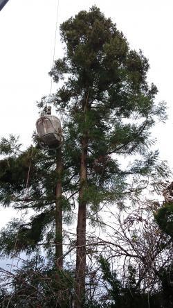 杉の木カット