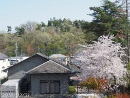 180331sakura03.jpg