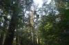 瀧原宮巨木